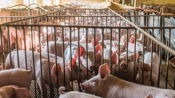 Pig sector on brink of 'industry meltdown', warns NPA